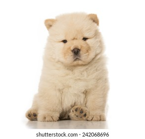 fluffy chow-chow puppy isolated over white background