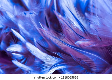 Fluffy of colorful chicken feathers in soft and blur style for the background