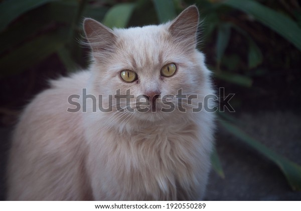 fluffy-creamcolored-cat-looks-green-600w