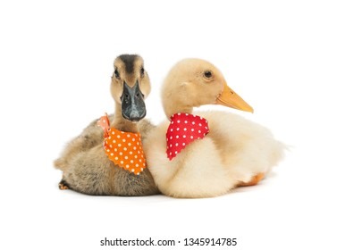 Fluffy cute ducklings sitting side by side - wearing dotted scarves, isolated on white