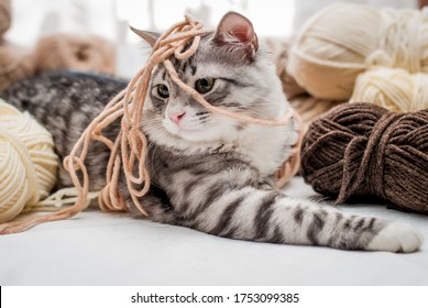 Fluffy cute gray cat lies among skeins of yarn, plays fun, tangled up threads