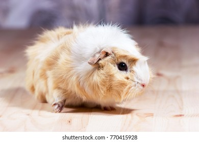 Fluffy cute rodent - guinea pig on neutral background