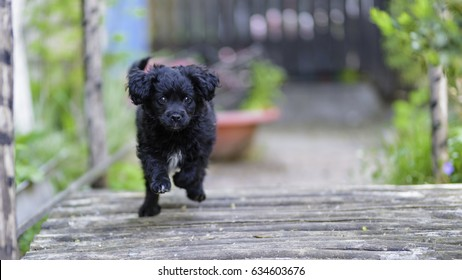 A fluffy cute and very happy black stray doggie spaniel with kind and loyal eyes is running merrily in the street