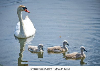 Fluffy cute сubs young white swans and adult graceful swans parents on a lake in spring in Europe