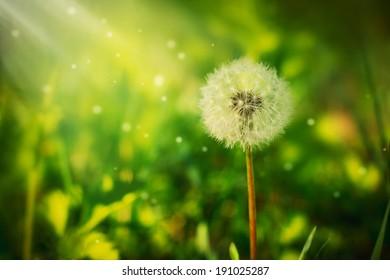 A fluffy dandelion