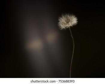 fluffy dandelion flower