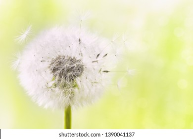 Fluffy dandelion flower with flying feathers on sunny bokeh background. Beautiful spring or summer nature scene.