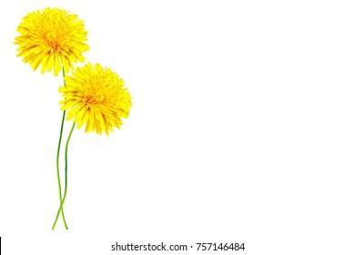 Fluffy dandelion flower isolated on white background.