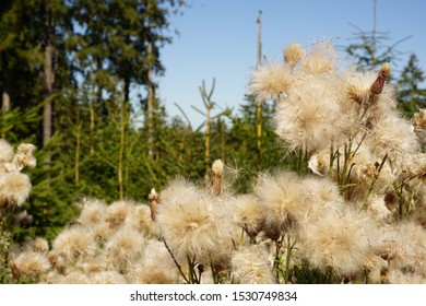 fluffy dandelion in a forest in sommer