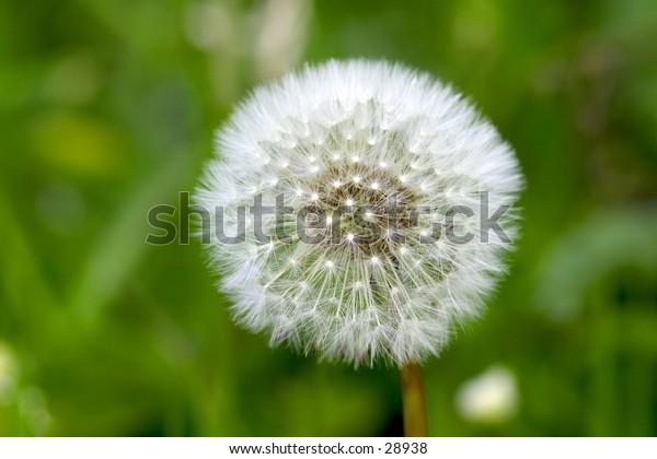 Fluffy dandelion head.
