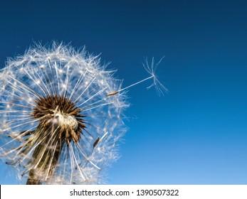 Fluffy dandelion looks like a small cloud.