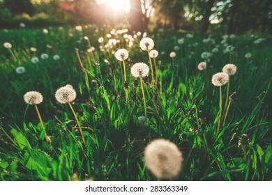 Fluffy dandelion on blurred green background on a sunny day