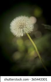 Fluffy dandelion on a green blurred background