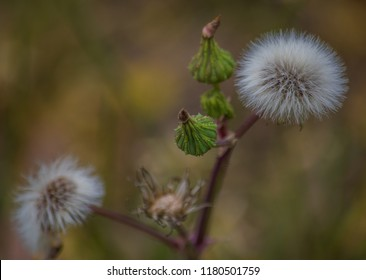 Fluffy Dandelion - Out in the country, New South Wales, Australia.