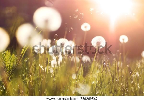 Auf einer Wiese leuchten fließende Löwenzahn in den Sonnenstrahlen bei Sonnenuntergang in der Natur. Schöne Kronleuchter im Frühling in einem Feld, Nahaufnahme der goldenen Sonnenstrahlen.