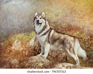 Fluffy dog Alaskan Malamute standing  on rock boulders in bushes background, North America. Artistic processing close-up portrait popular sled breed of dogs, horizontal banner. Art pattern