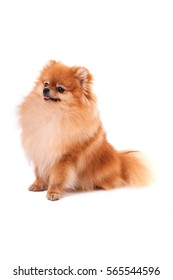 Fluffy dog is waiting for a command