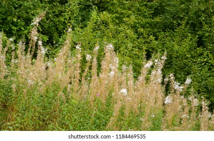 Fluffy, dried flowers of fireweed at early autumn.