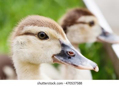 Fluffy duckling head macro view, soft focus.
