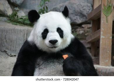 Fluffy Female Panda is Eating Red Apple, Chiangmai, Thailand