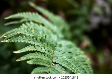 Fluffy Forest Fern