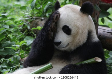 Fluffy Giant Panda in Beijing, China