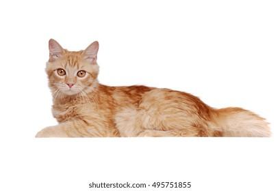 Fluffy ginger cat lying on white background