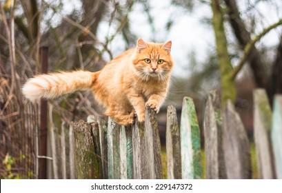 Fluffy Ingwer Tabby Katze laufen auf alten Holzzaun