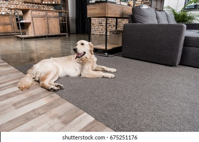 fluffy golden retriever dog lying on floor at home
