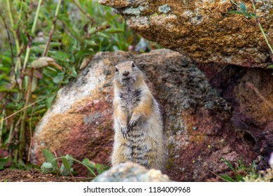 fluffy gopher crawled out of the hole. cute gopher sitting on a green meadow on a Sunny day