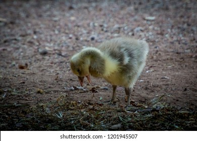 Fluffy gosling looking for something to eat