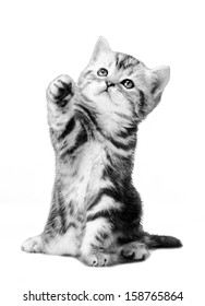 fluffy gray beautiful  kitten, breed scottish-straight,  play upright  on white  background , isolated. Black-and-white photo.