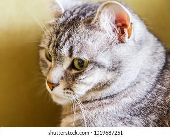 The fluffy gray cat looks around herself