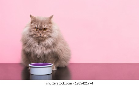 Fluffy gray cat sits with a plate of food on the pink background and looks at the camera. Beautiful adult cat sits near a plate of food for pets in the studio on a pink background. . Pets concept.