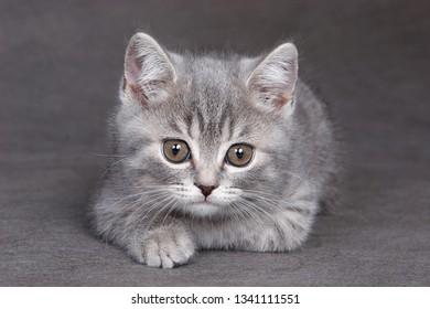 Fluffy gray kitten on a gray background