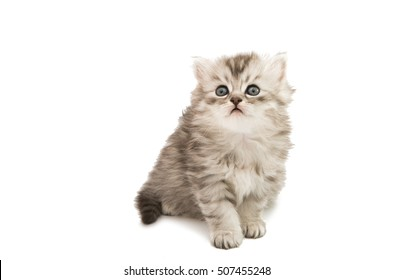 fluffy gray kitten on a white background