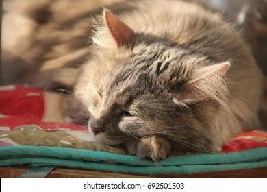 Fluffy gray Siberian cat lies in the sun