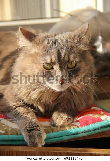 fluffy-gray-siberian-cat-lies-600w-69111