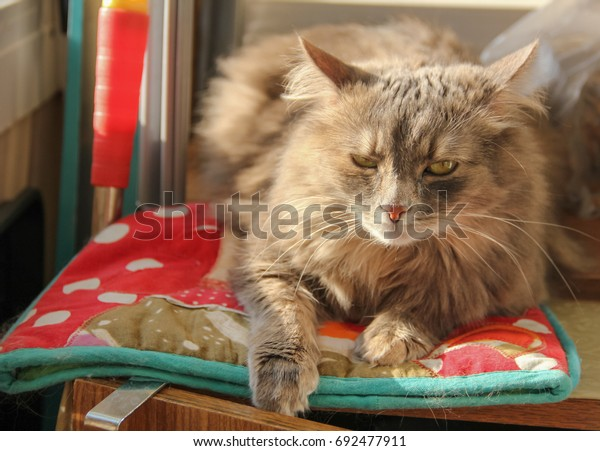 fluffy-gray-siberian-cat-lies-600w-69247