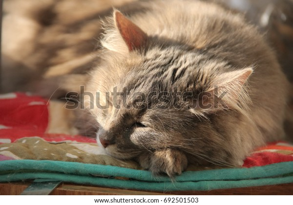 fluffy-gray-siberian-cat-lies-600w-69250