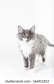 Fluffy Gray and White Kitten on Seamless Background
