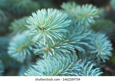 Fluffy green pine branch close-up.