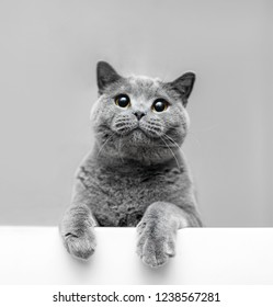 Fluffy grey cat in playful mood leaning out. British shorthair cat. Animal portrait.