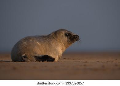 Fluffy Grey seal pups