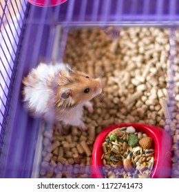 Fluffy hamster in a cage. Funny syrian angora pet