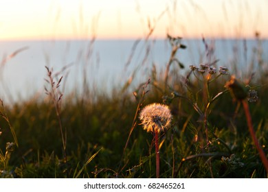 Fluffy head of dandelion in the glow of the setting sun on lake Onega