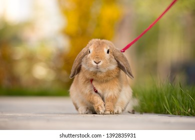 Fluffy home pet on a walk on green grass. Child learning to take care of an animal. Long-eared decorative rabbit on a red leash.
