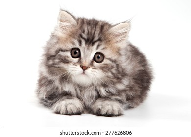 fluffy kitten lies and looks into the camera (isolated on white)