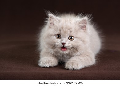 Fluffy kitten on a brown background