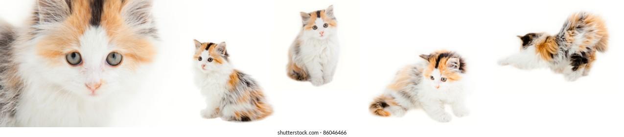 Fluffy kittens isolated on white